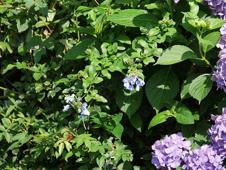 ルリマツリの花が増えてきた。2020年-003.jpg