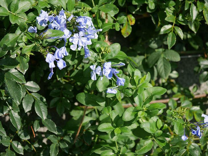 ルリマツリの花が増えてきた。2020年-005.jpg