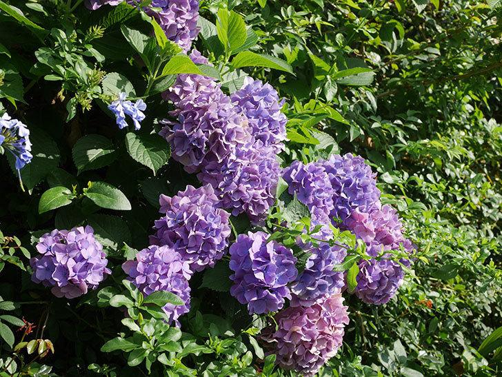 ルリマツリの花が増えてきた。2020年-006.jpg