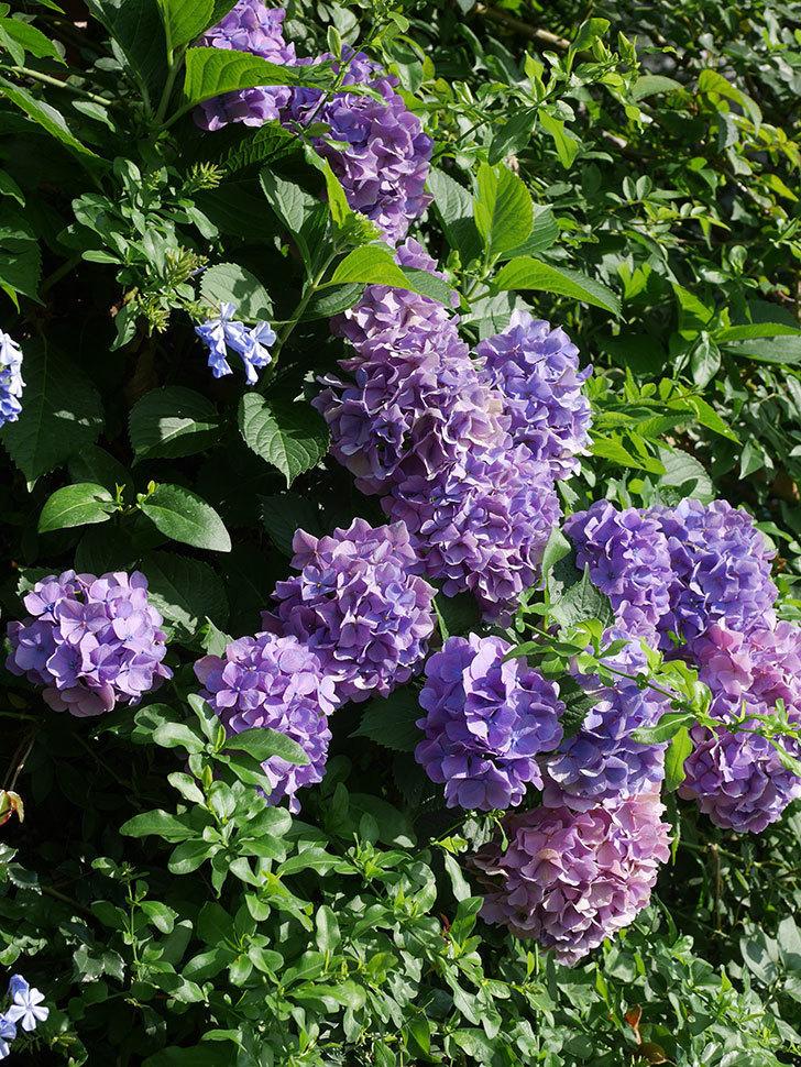 ルリマツリの花が増えてきた。2020年-007.jpg