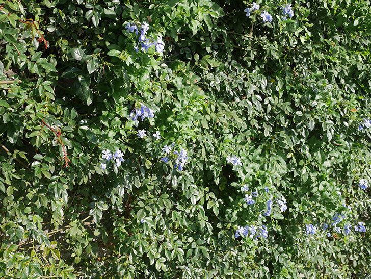 ルリマツリの花が増えてきた。2020年-008.jpg