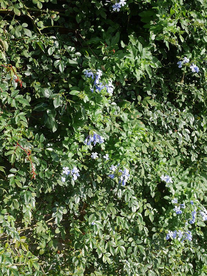 ルリマツリの花が増えてきた。2020年-009.jpg
