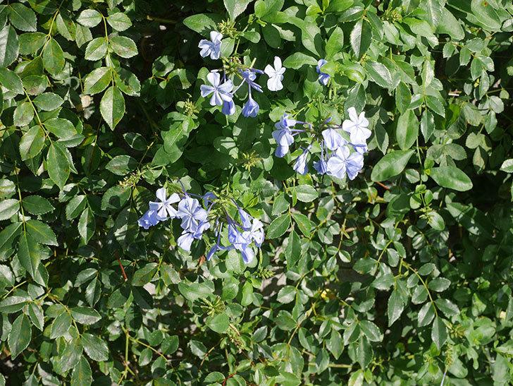 ルリマツリの花が増えてきた。2020年-011.jpg