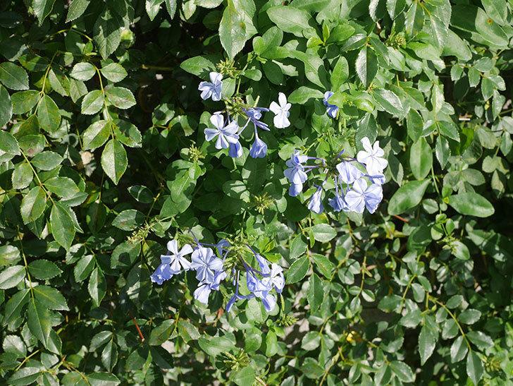 ルリマツリの花が増えてきた。2020年-012.jpg
