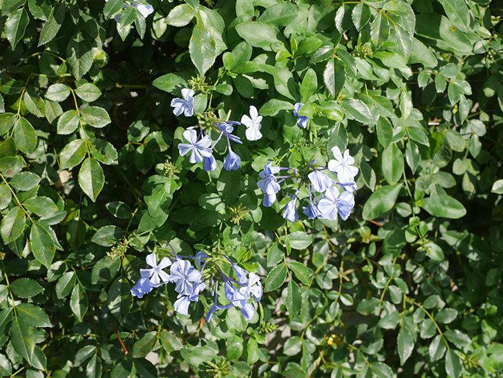 ルリマツリの花が増えてきた。2020年-013.jpg