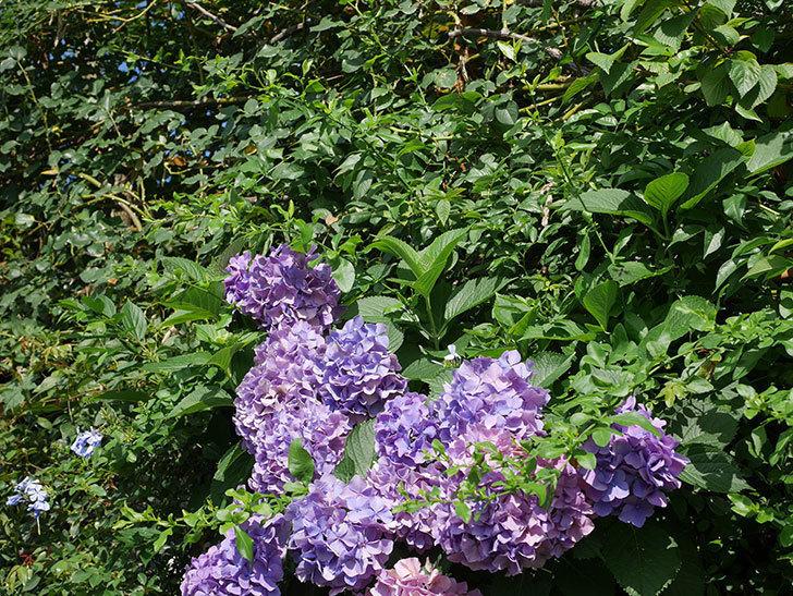 ルリマツリの花が増えてきた。2020年-014.jpg