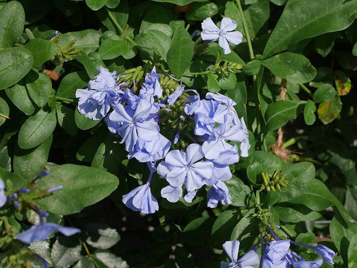 ルリマツリの花が増えてきた。2020年-015.jpg