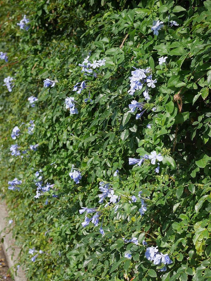 ルリマツリの花が増えてきた。2020年-019.jpg