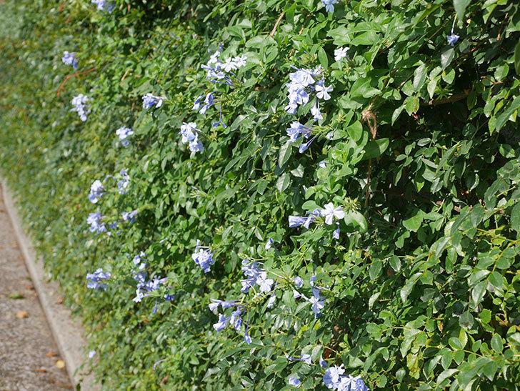 ルリマツリの花が増えてきた。2020年-020.jpg