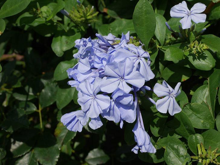ルリマツリの花が増えてきた。2020年-022.jpg
