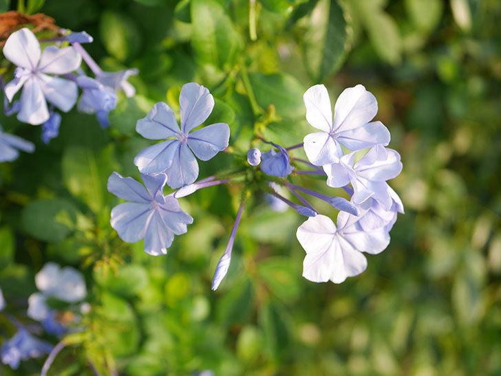 ルリマツリの花が増えてきた。2020年-025.jpg
