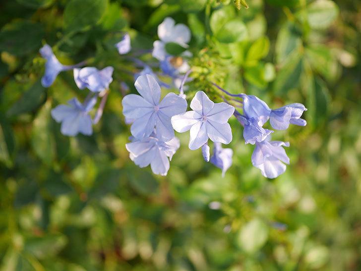 ルリマツリの花が増えてきた。2020年-027.jpg