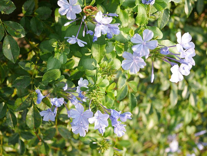 ルリマツリの花が増えてきた。2020年-032.jpg