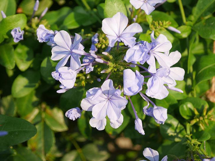 ルリマツリの花が増えてきた。2020年-037.jpg