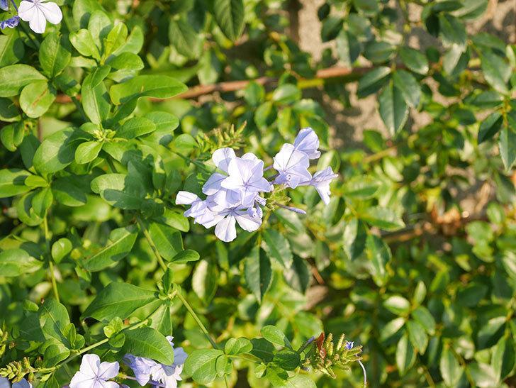 ルリマツリの花が増えてきた。2020年-039.jpg
