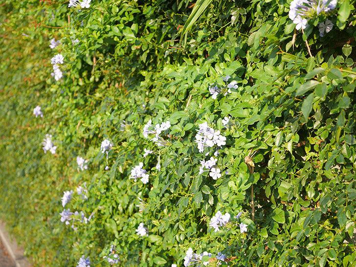 ルリマツリの花が増えてきた。2020年-041.jpg