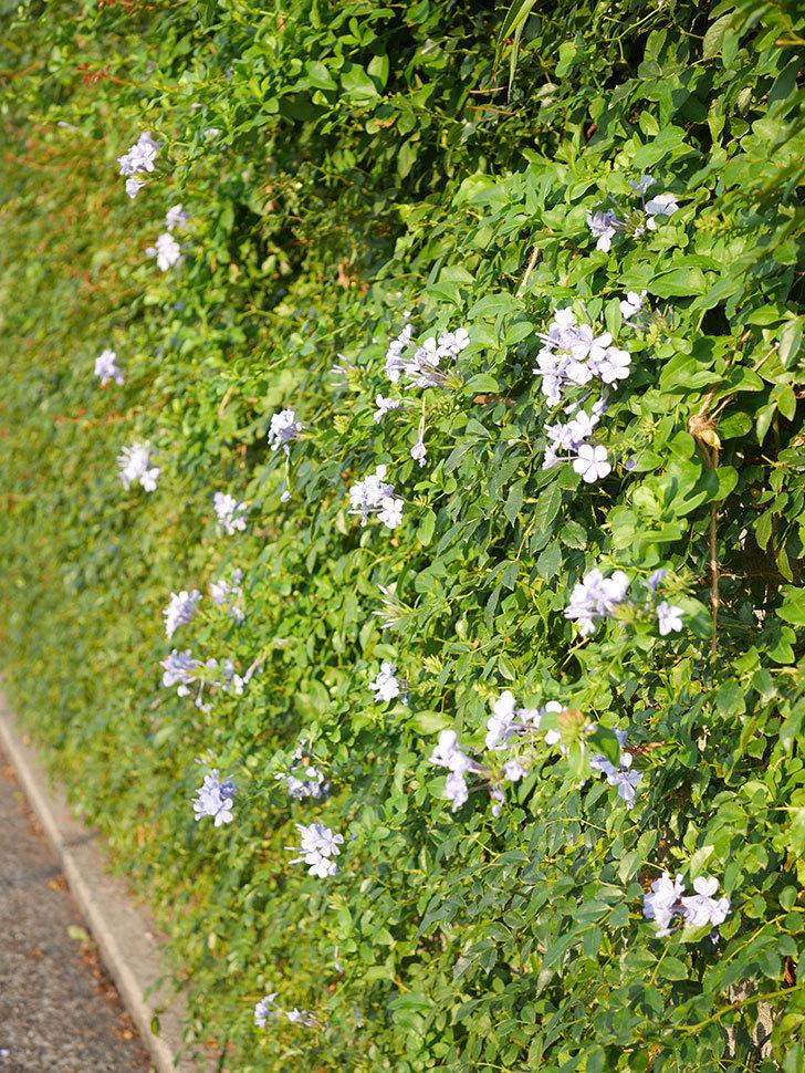 ルリマツリの花が増えてきた。2020年-042.jpg