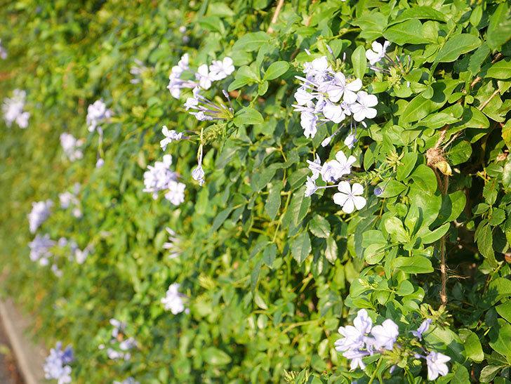 ルリマツリの花が増えてきた。2020年-043.jpg