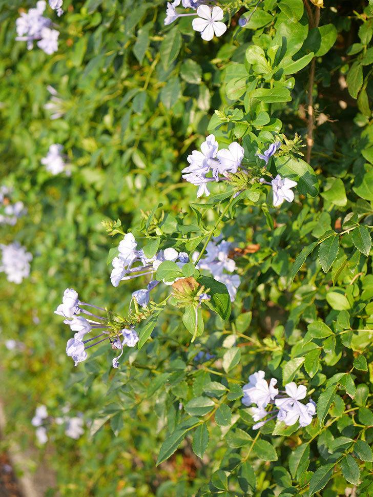 ルリマツリの花が増えてきた。2020年-045.jpg