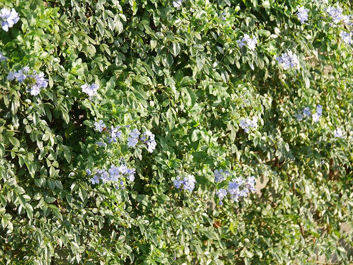 ルリマツリの花が増えてきた。2020年-046.jpg