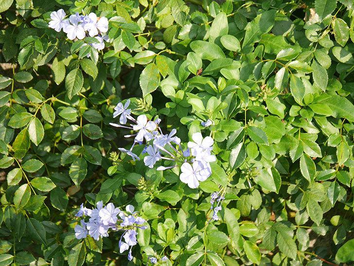ルリマツリの花が増えてきた。2020年-051.jpg
