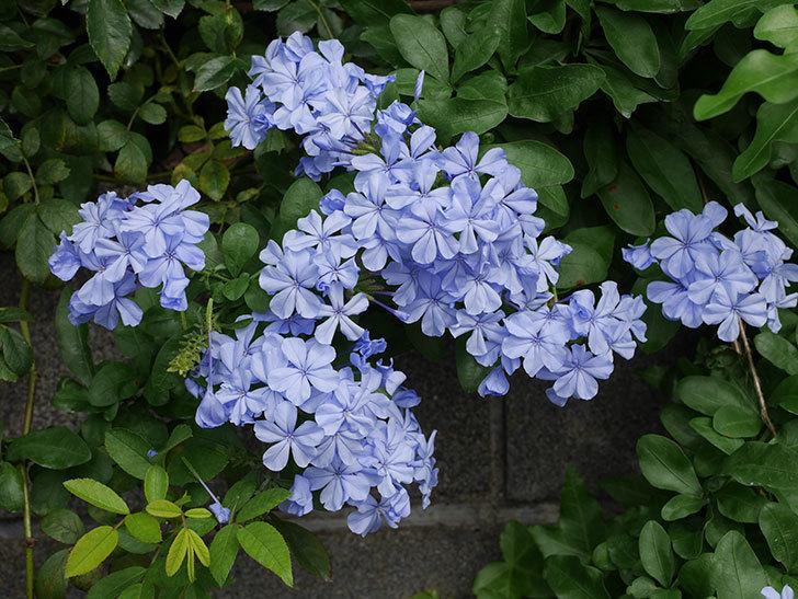 ルリマツリの花が増えて来た。2019年-1.jpg