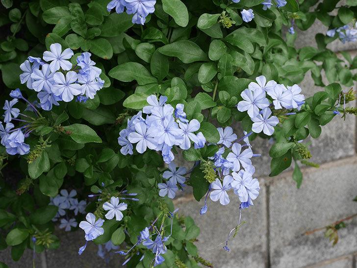ルリマツリの花が増えて来た。2019年-4.jpg