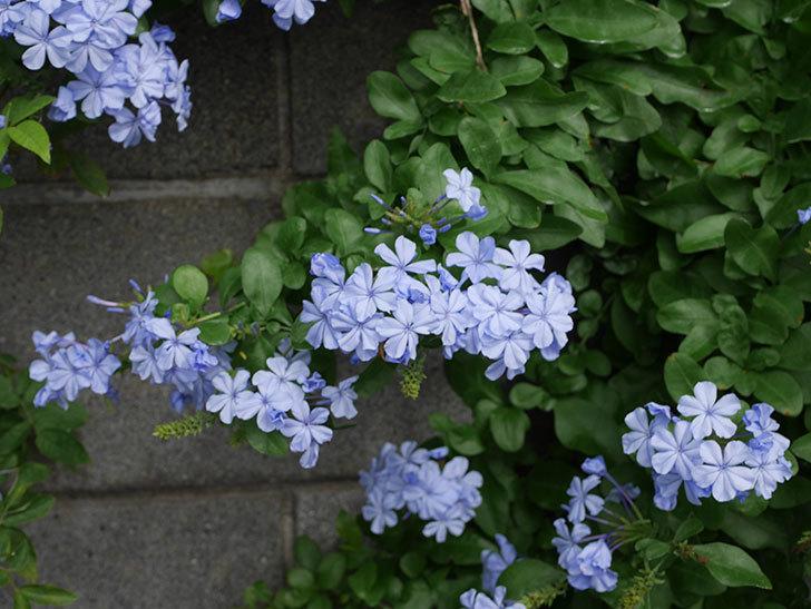 ルリマツリの花が増えて来た。2019年-5.jpg