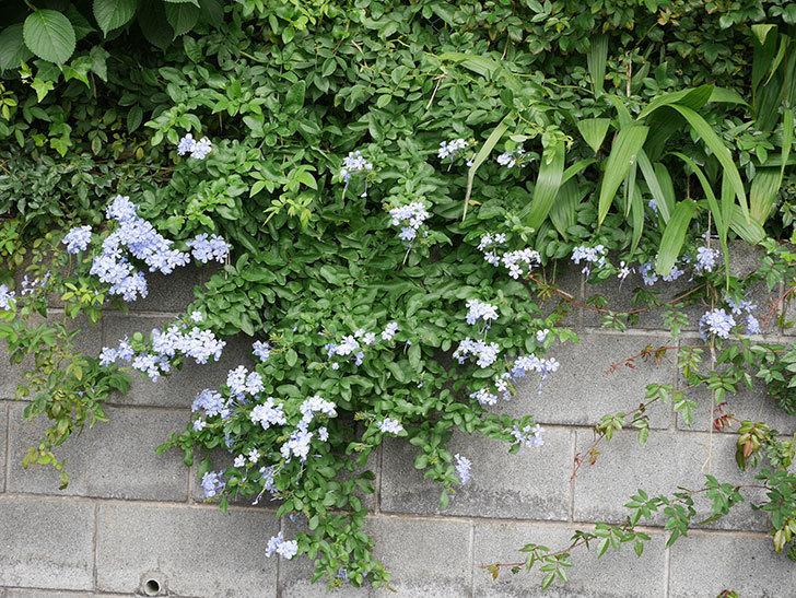 ルリマツリの花が増えて来た。2019年-6.jpg