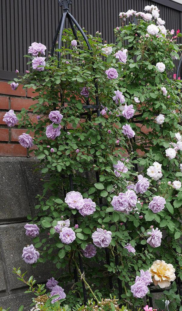 レイニーブルー(ツルバラ)がたくさん咲いた。2019年-11.jpg