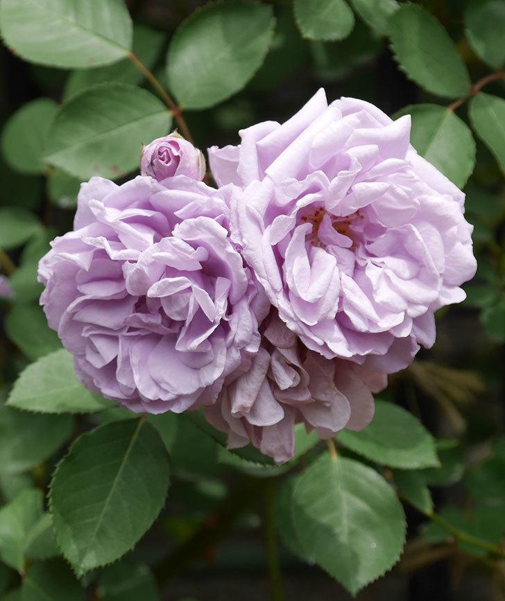 レイニーブルー(ツルバラ)がたくさん咲いた。2019年-15.jpg