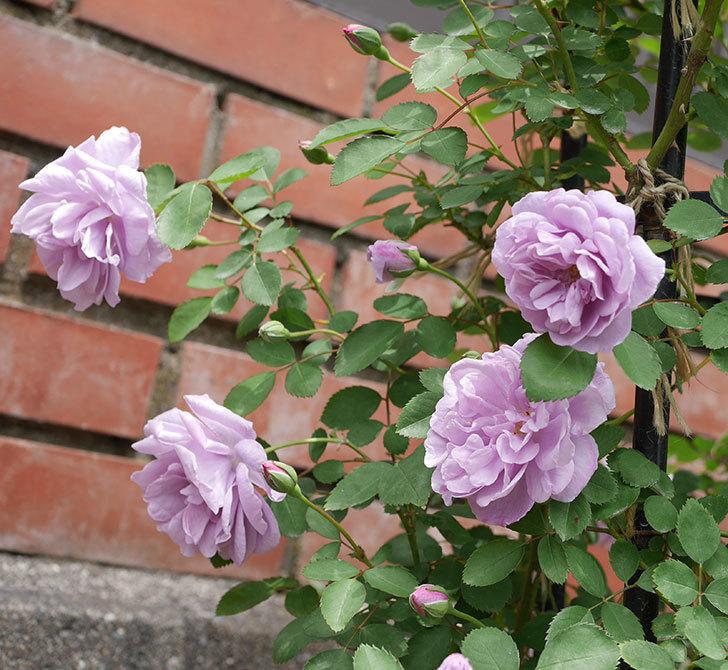 レイニーブルー(ツルバラ)がたくさん咲いた。2019年-5.jpg