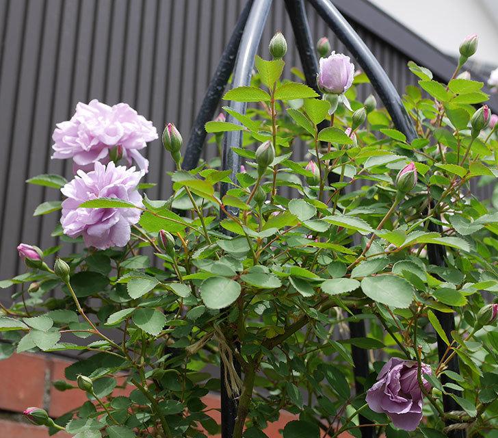 レイニーブルー(ツルバラ)がたくさん咲いた。2019年-6.jpg