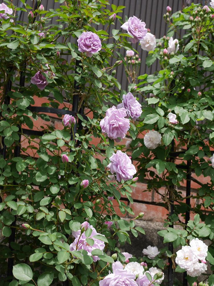 レイニーブルー(ツルバラ)がたくさん咲いた。2019年-9.jpg