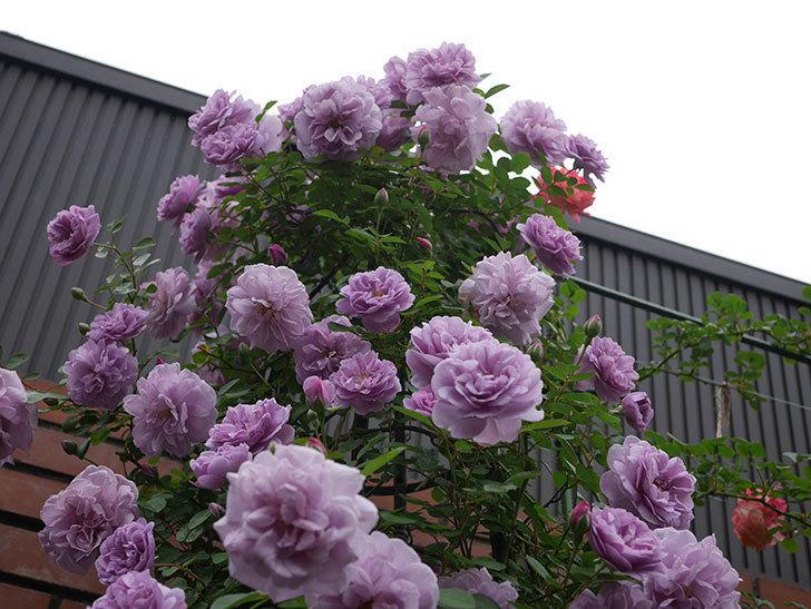 レイニーブルー(ツルバラ)がたくさん咲いた。2020年-2.jpg