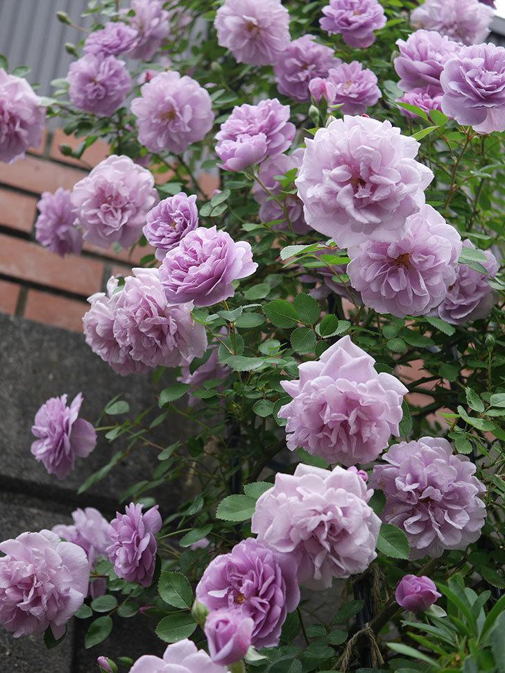 レイニーブルー(ツルバラ)がたくさん咲いた。2020年-3.jpg