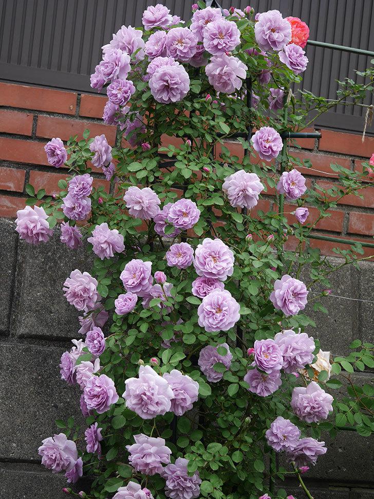 レイニーブルー(ツルバラ)がたくさん咲いた。2020年-4.jpg