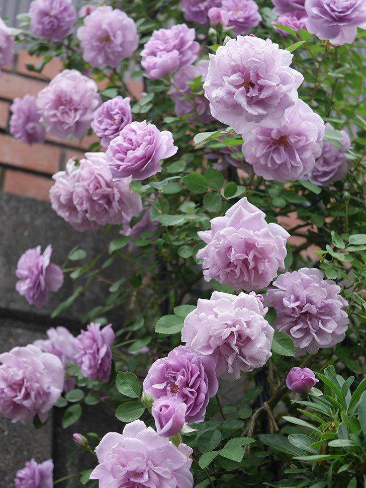 レイニーブルー(ツルバラ)がたくさん咲いた。2020年-7.jpg