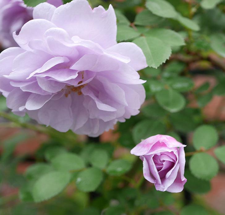 レイニーブルー(ツルバラ)が綺麗に咲いた。2018年-10.jpg