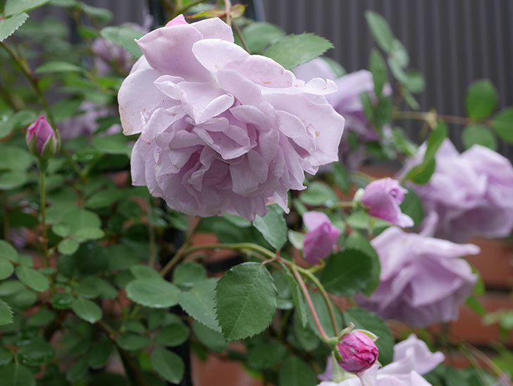レイニーブルー(ツルバラ)が綺麗に咲いた。2018年-11.jpg