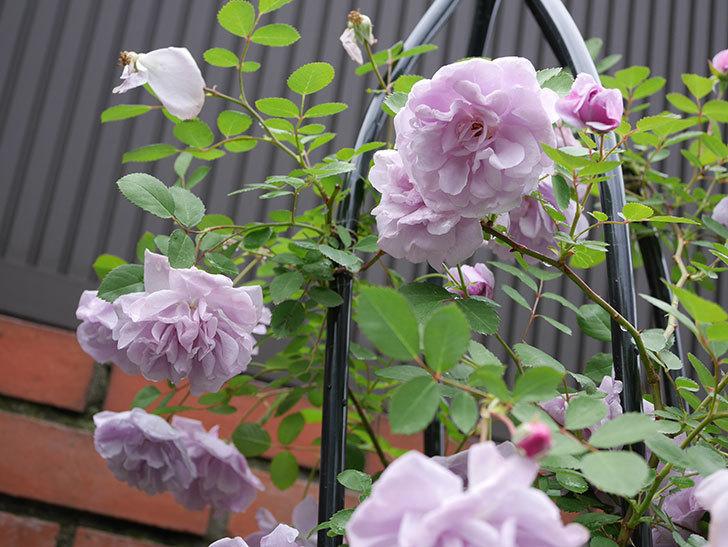 レイニーブルー(ツルバラ)が綺麗に咲いた。2018年-12.jpg