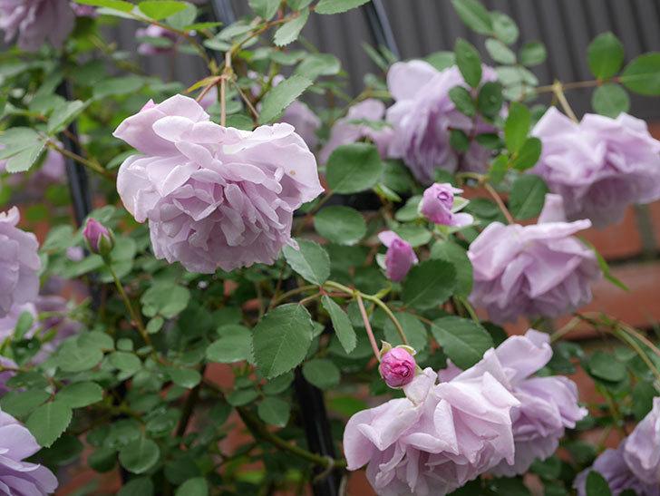 レイニーブルー(ツルバラ)が綺麗に咲いた。2018年-13.jpg
