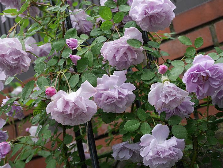 レイニーブルー(ツルバラ)が綺麗に咲いた。2018年-15.jpg