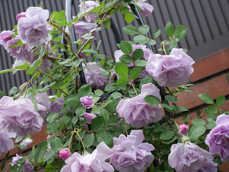 レイニーブルー(ツルバラ)が綺麗に咲いた。2018年-16.jpg