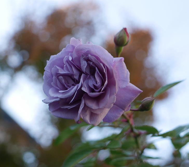 レイニーブルー(ツルバラ)に濃いめの色の花が咲いた。2019年-1.jpg