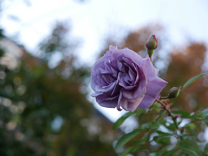 レイニーブルー(ツルバラ)に濃いめの色の花が咲いた。2019年-2.jpg