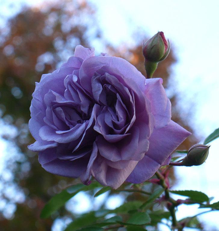 レイニーブルー(ツルバラ)に濃いめの色の花が咲いた。2019年-3.jpg