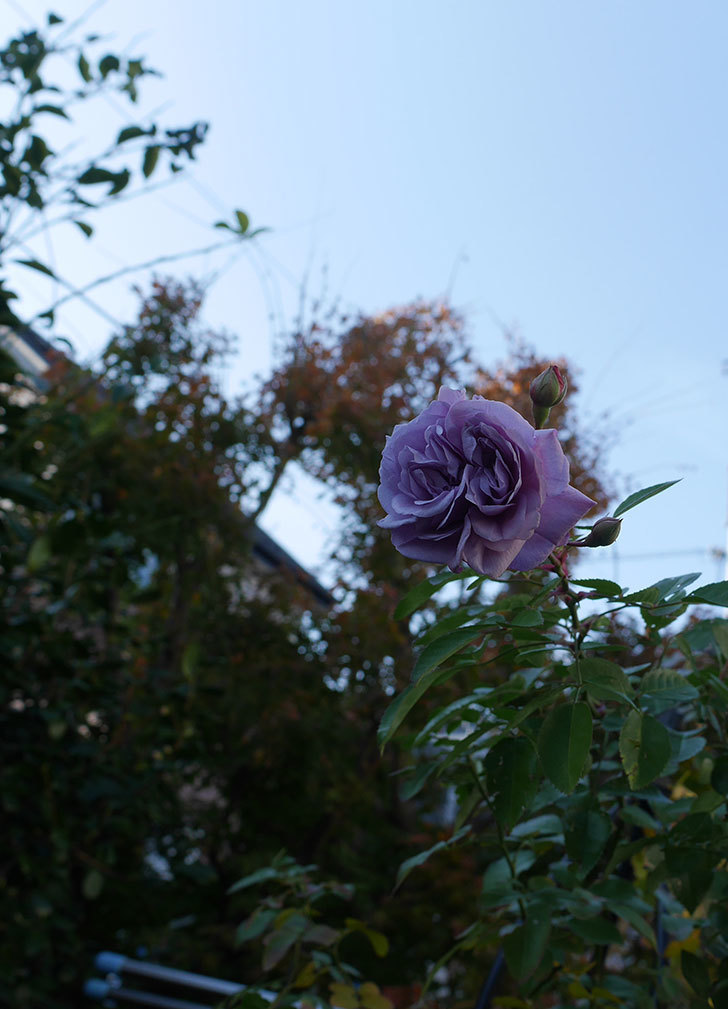 レイニーブルー(ツルバラ)に濃いめの色の花が咲いた。2019年-4.jpg