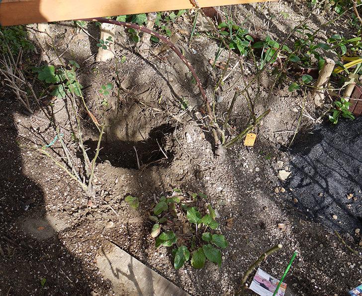 レイニーブルー(ツルバラ)に穴を掘って寒肥をやった。2017年-3.jpg