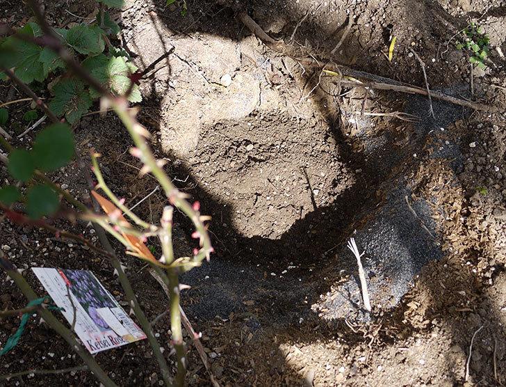 レイニーブルー(ツルバラ)に穴を掘って寒肥をやった。2017年-6.jpg